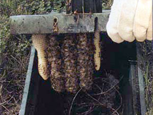 Killer bees escondido fire department disturbing an established nest of bees can result in a serious stinging incident if you attempt to remove a swarm or hive by yourself you risk injury to solutioingenieria Gallery